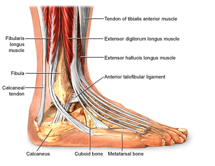 Inversion Ankle Sprains Mind To Muscle